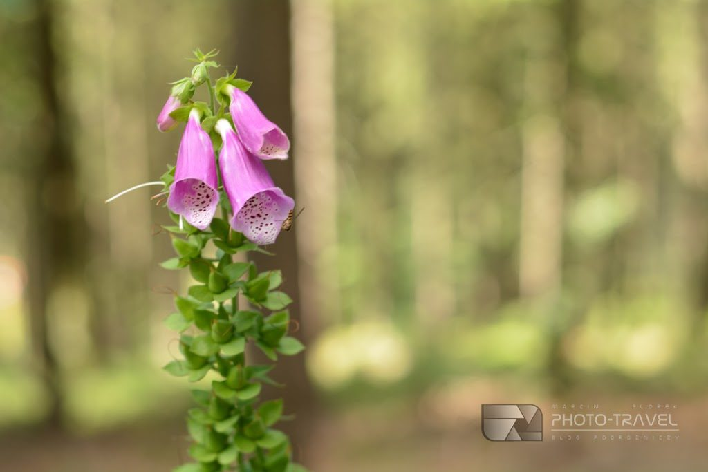 Roślinność i przyroda Gór Sowich. Flora i fauna Gór Sowich. Naparstnica purpurowa przy stoku Rymarz w Gorach Sowich