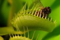Rosiczka (Dionaea Ellis)
