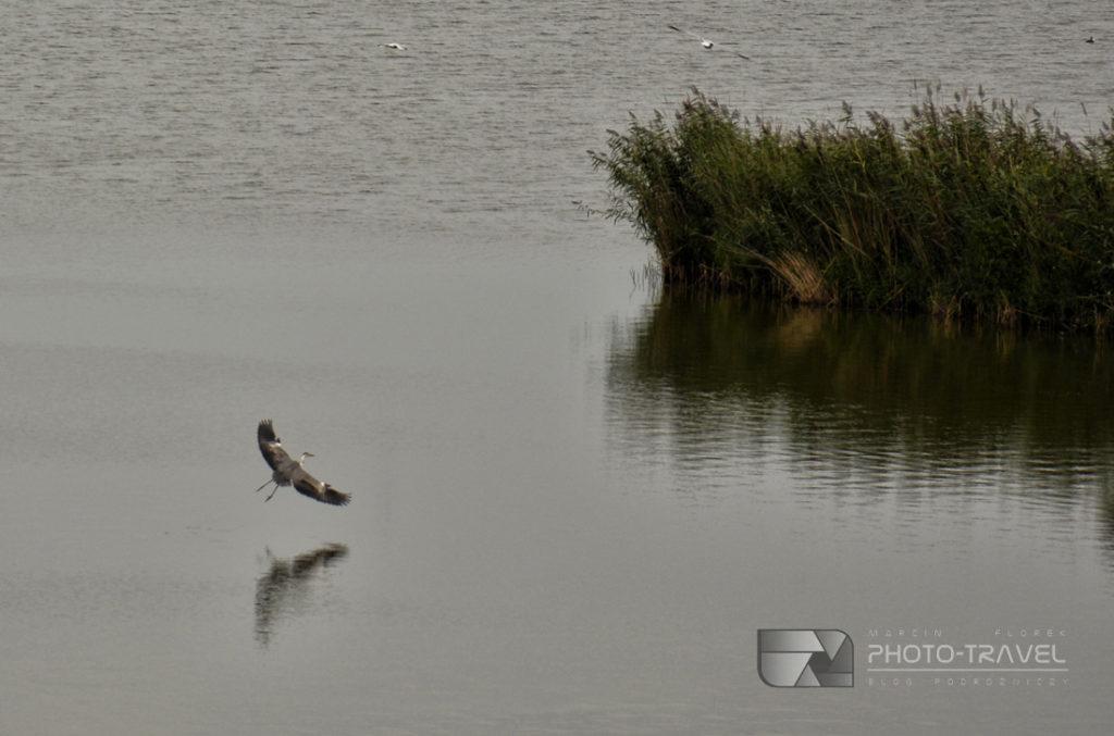 Czaple i inne ptaki w Dolinie Baryczy i Stawy Milickie wpisane na listę Living Lakes