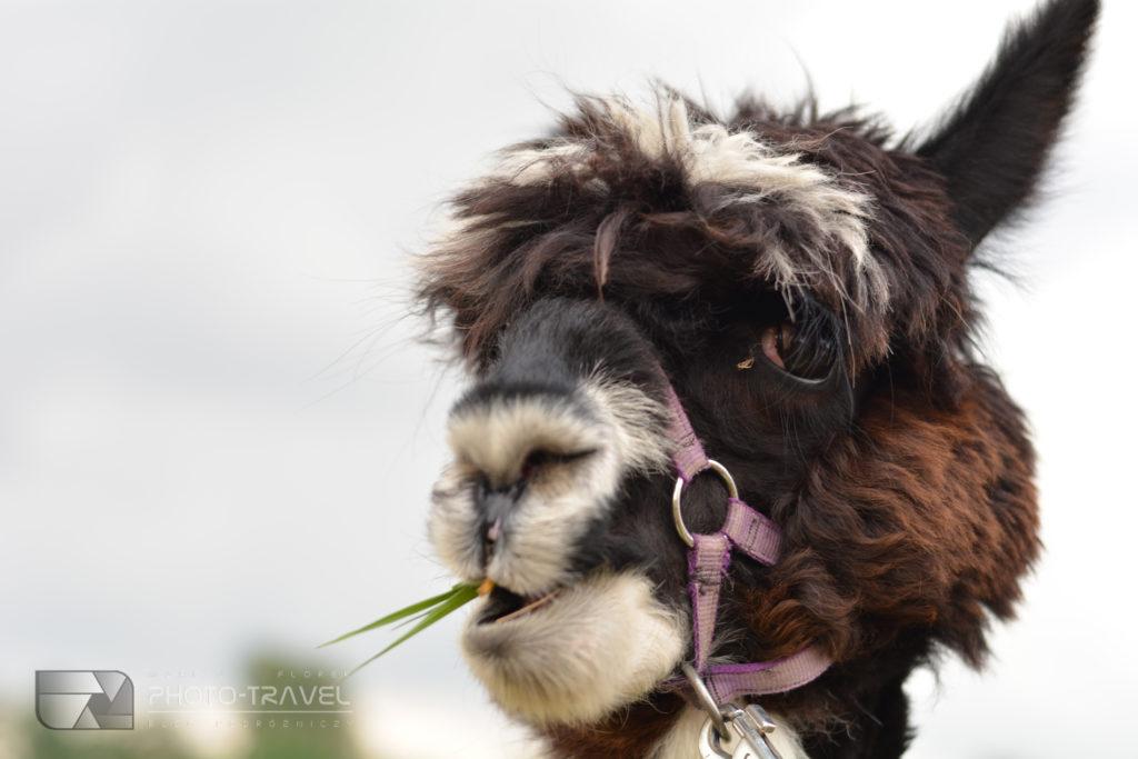 Alpaki Kłodzko