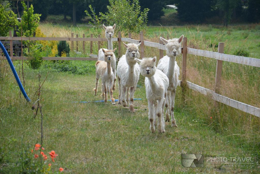 Farma alpak Kłodzko