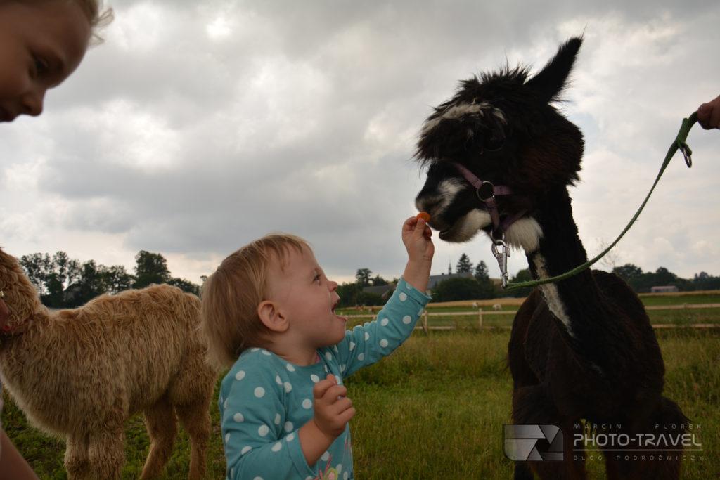 Co jedzą alpaki? Wiktoria karmi alpaki marchewkami