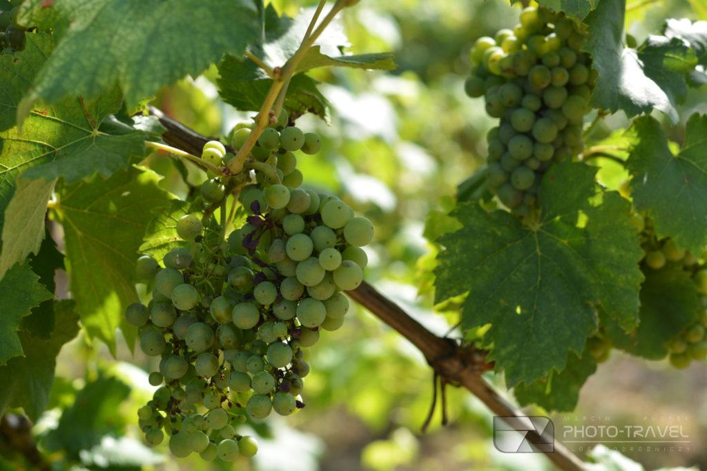 Gruzińskie wina - odmiany winogron