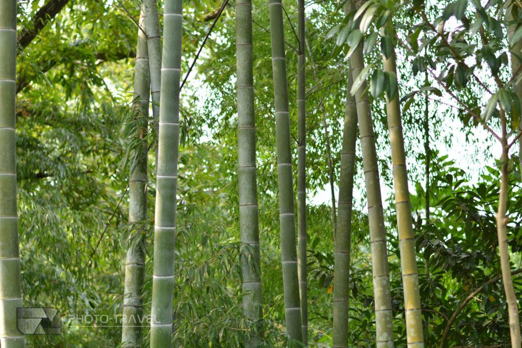 Las bambusowy w Batumi