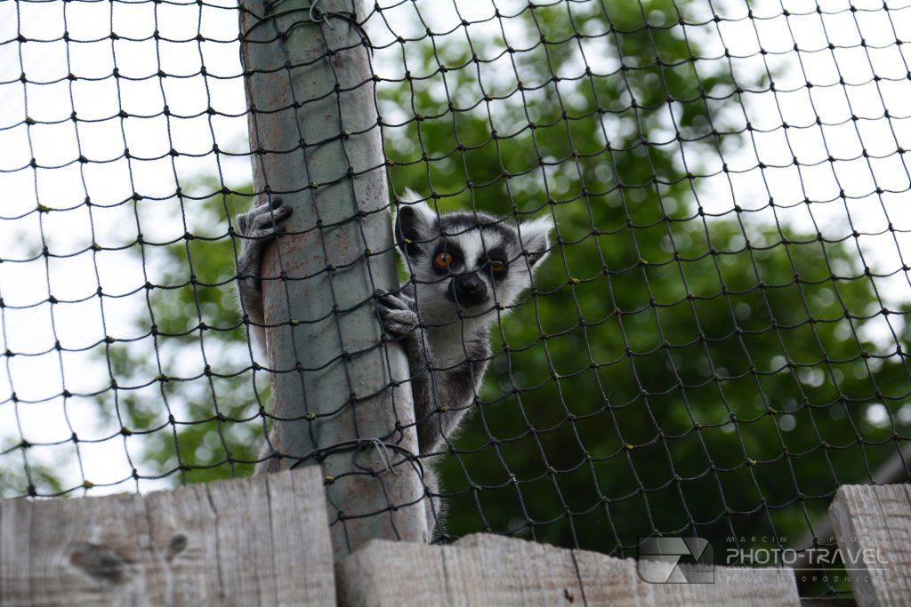 Lemury w ZOO Łączna