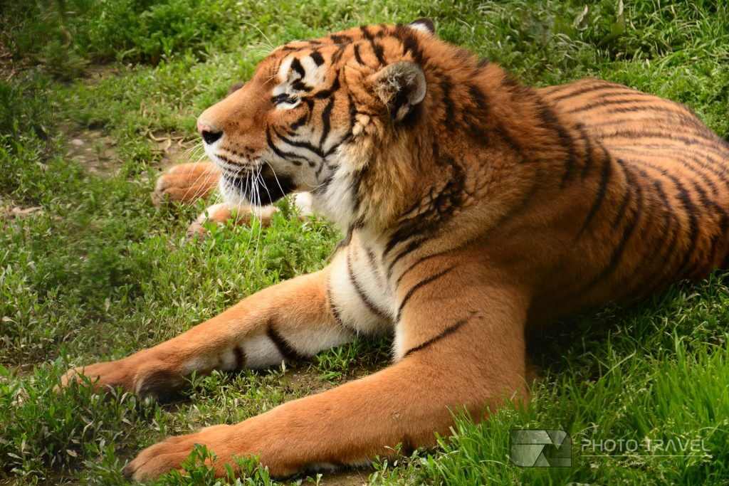 Tygrys w ZOO Łączna
