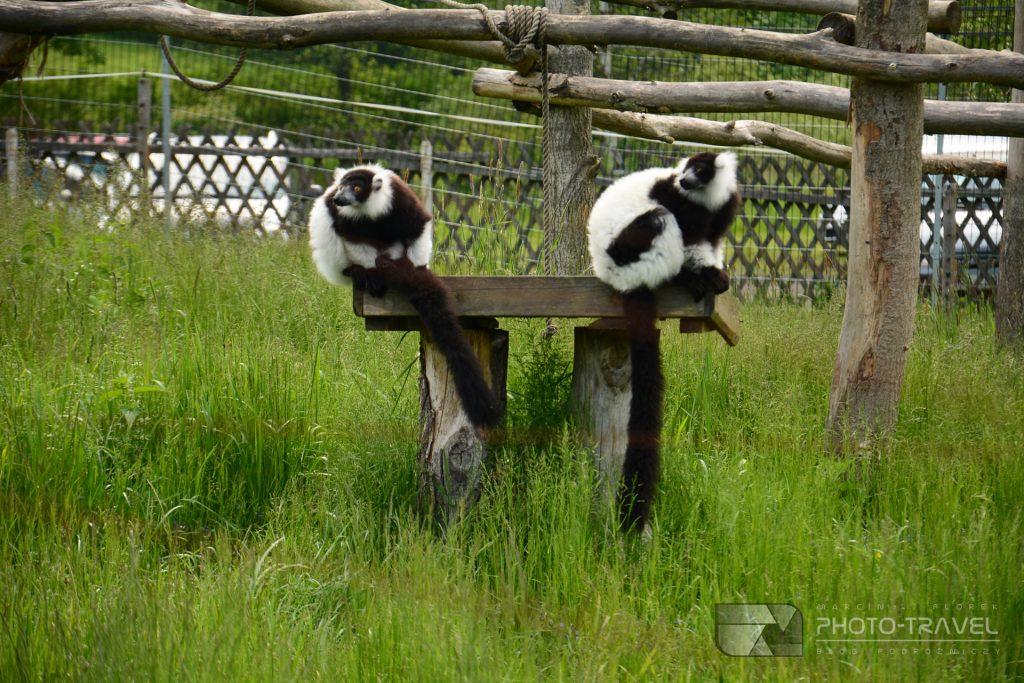 Lemury w ZOO Łączna koło Mieroszowa