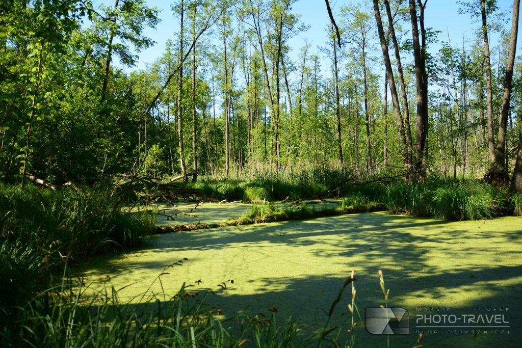 Rezerwat Olszyny Niezgodzkie to malowniczy obszar, ponad 70 ha podmokłego, bagiennego lasu pełnego olszyn w Dolinie Baryczy.